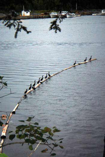cormorants in line